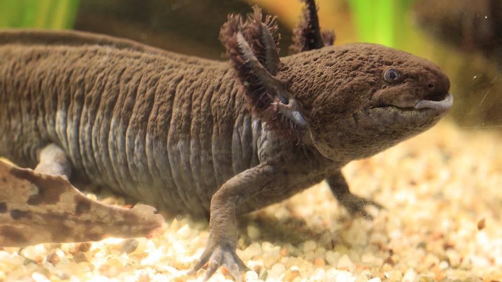 Jak chovat axolotla | Dreamstime.com