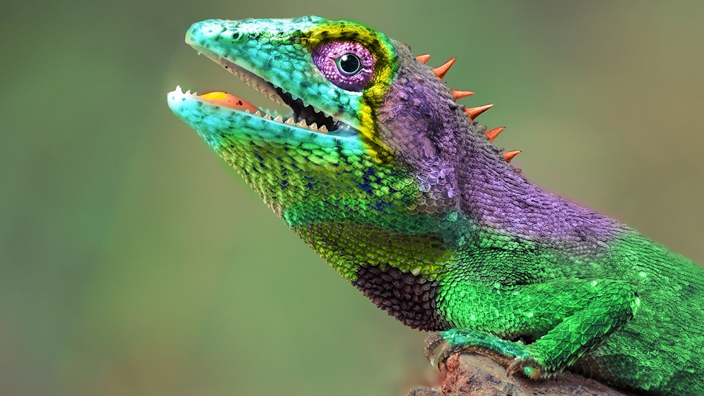Jak chovat chameleona