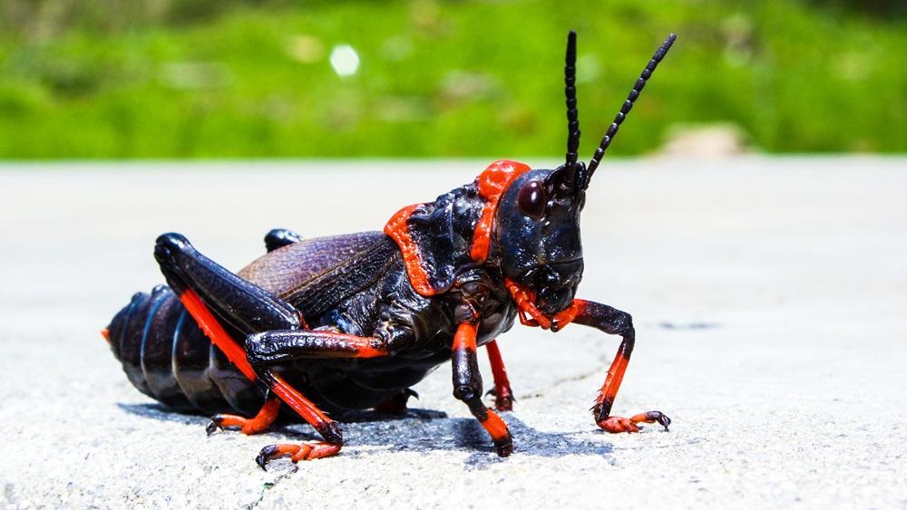 Jak chovat cvrčky