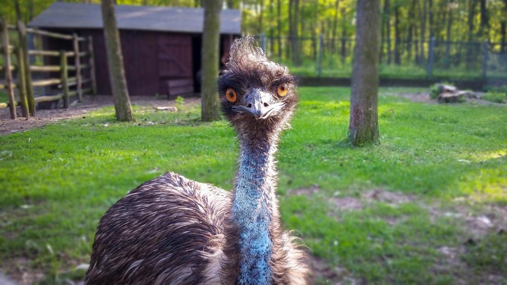 Jak chovat emu