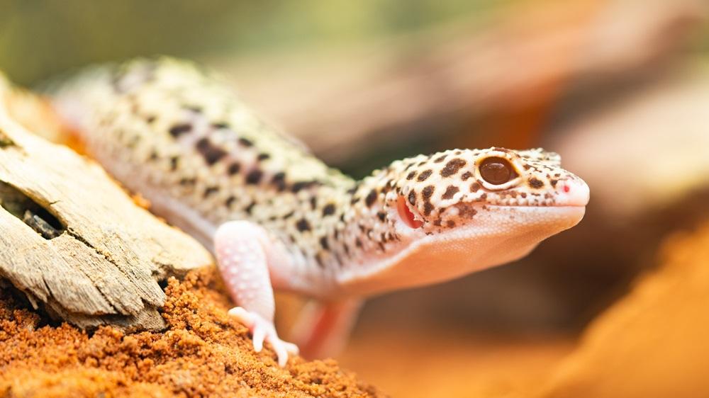 Jak chovat gekona
