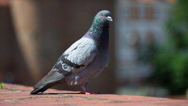 Jak chovat holuby