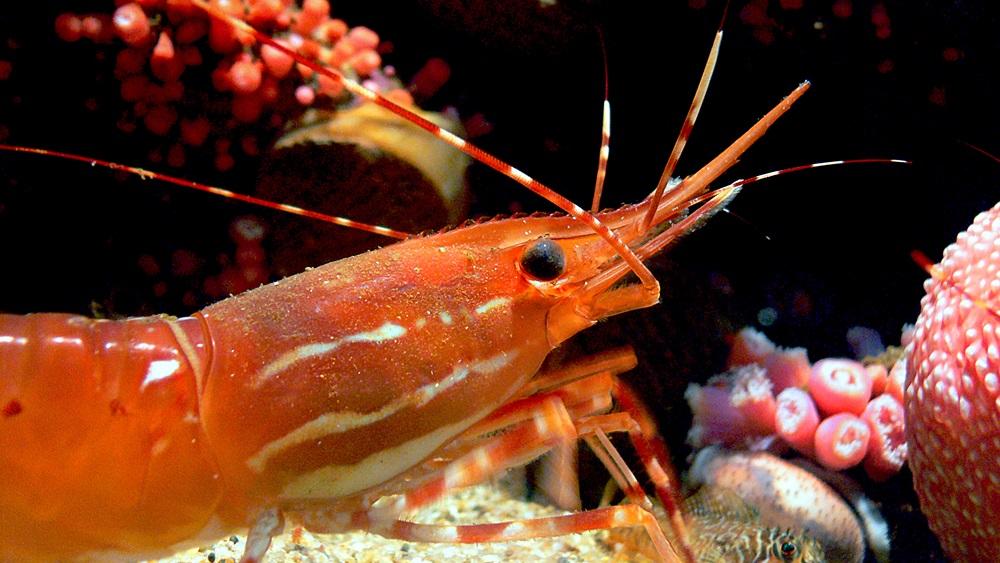Jak chovat krevety