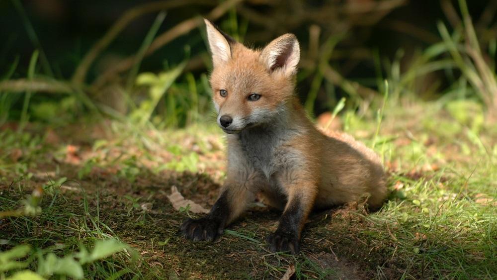 Jak chovat lišku