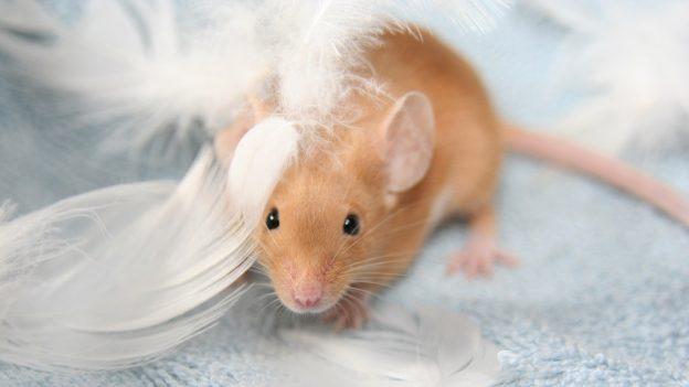 Jak chovat myš