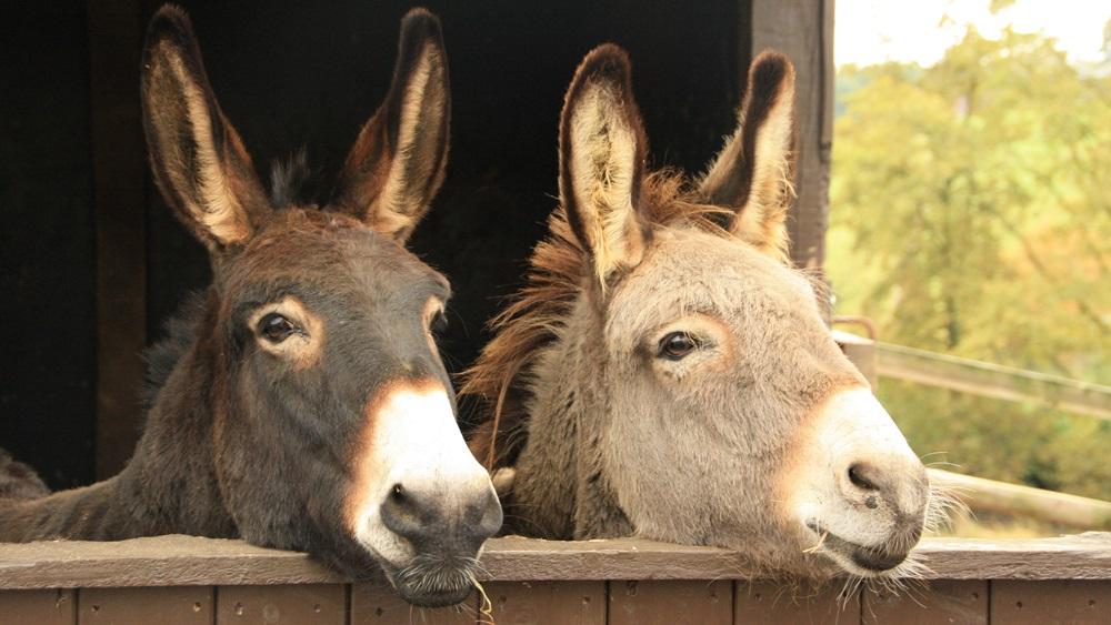 Jak chovat osla