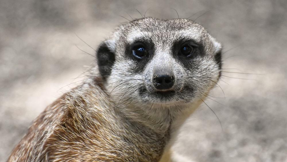 Jak chovat surikaty