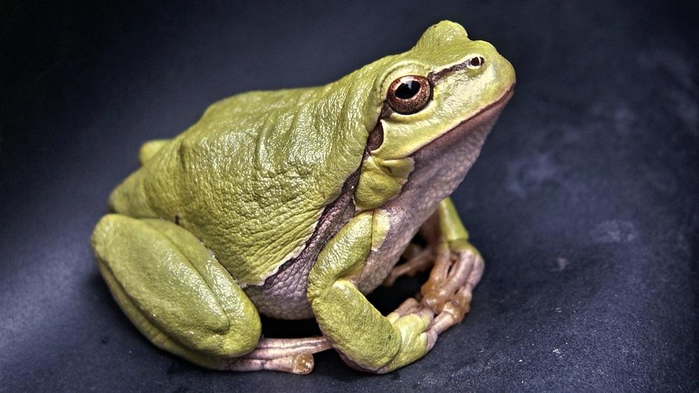 Jak chovat žábu