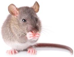 Jak chytit myš