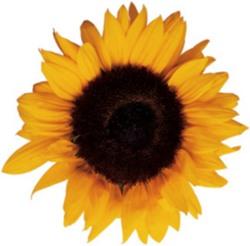 Jak naklíčit slunečnicová semínka | © Michelle oshen / Flickr.com