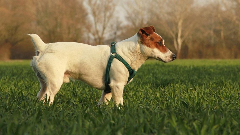 Jak naučit psa čůrat venku