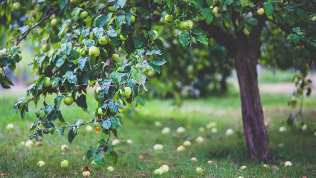 Jak ořezat jabloň