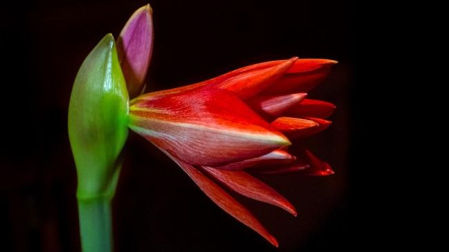 Jak pěstovat amarylis