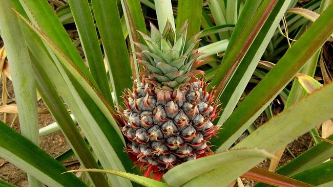 Jak pěstovat ananas