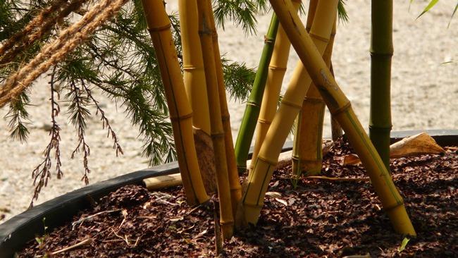Jak pěstovat bambus
