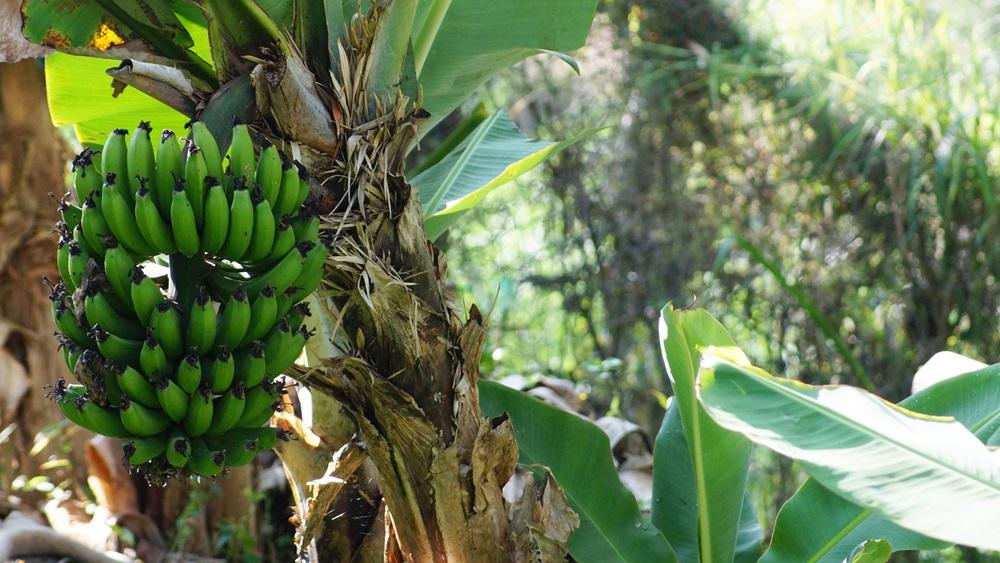 Jak pěstovat banánovník