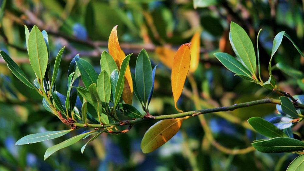 Jak pěstovat bobkový list