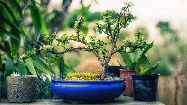 Jak pěstovat bonsai