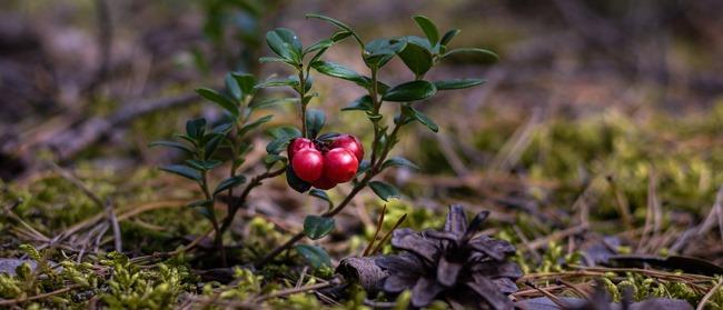 Jak pěstovat brusinky