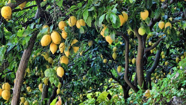 Jak pěstovat citron