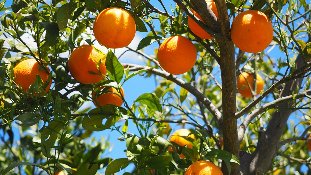 Jak pěstovat citrusy