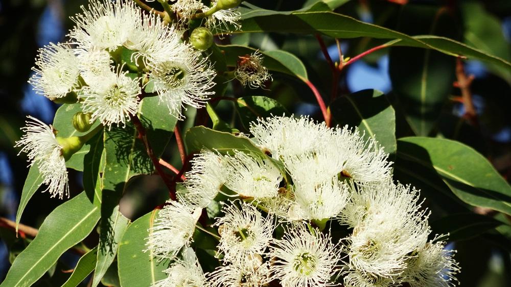 Jak pěstovat eukalyptus