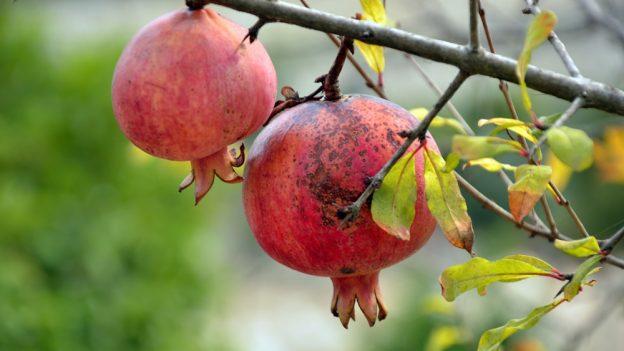 Jak pěstovat granátové jablko