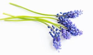 Jak pěstovat hyacint