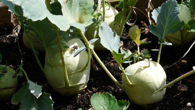Jak pěstovat kedlubny