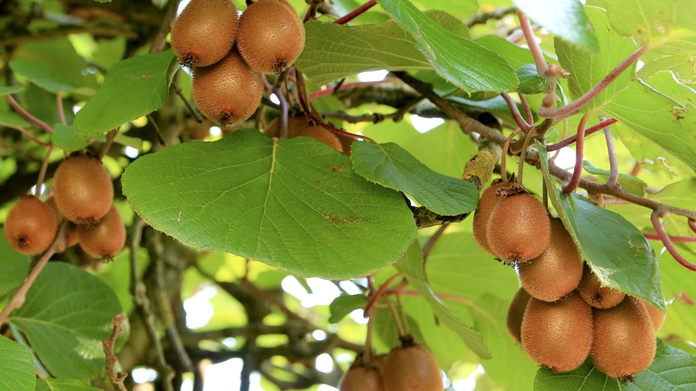Jak pěstovat kiwi
