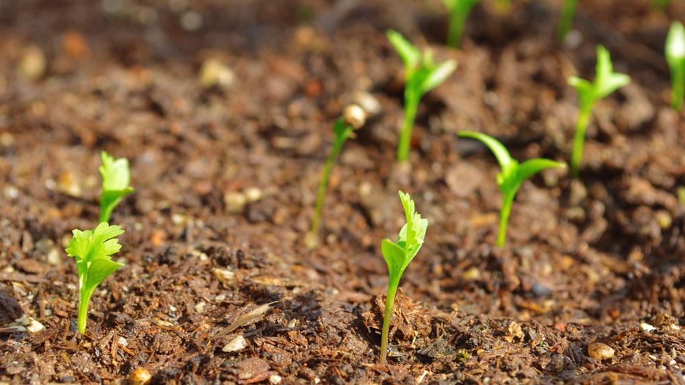 Jak pěstovat koriandr