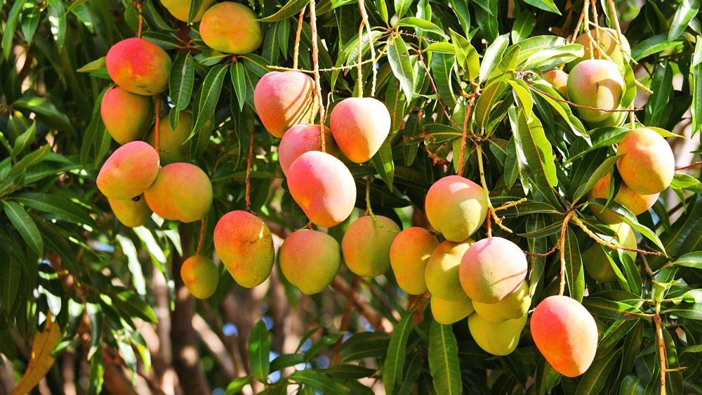 Jak pěstovat mango