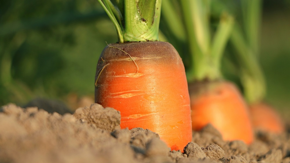 Jak pěstovat mrkev