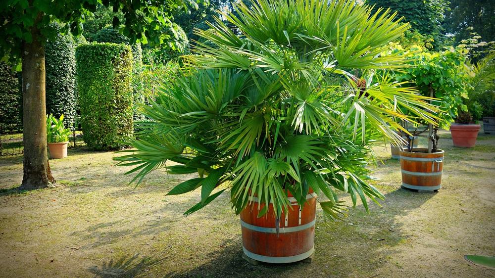 Jak pěstovat palmu