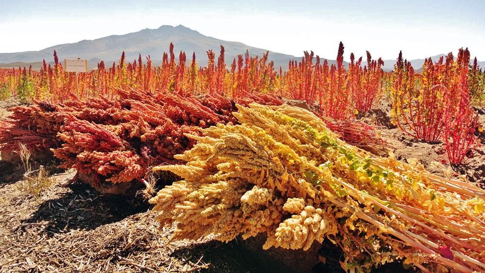 Jak pěstovat quinou