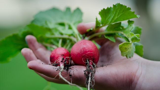 Jak pěstovat ředkvičky