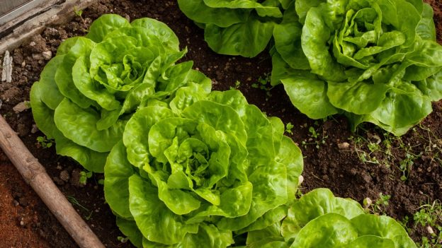 Jak pěstovat salát