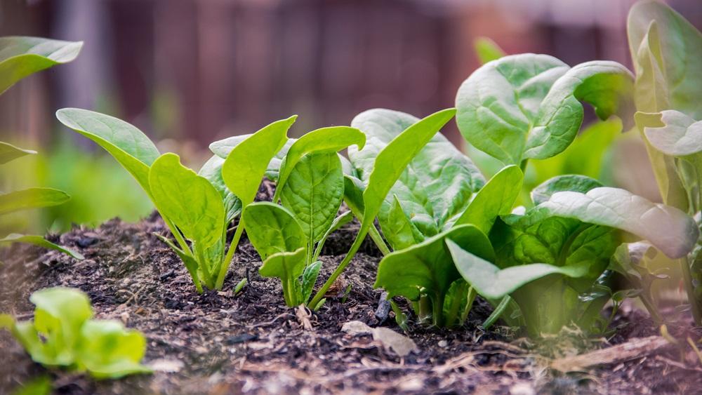 Jak pěstovat špenát