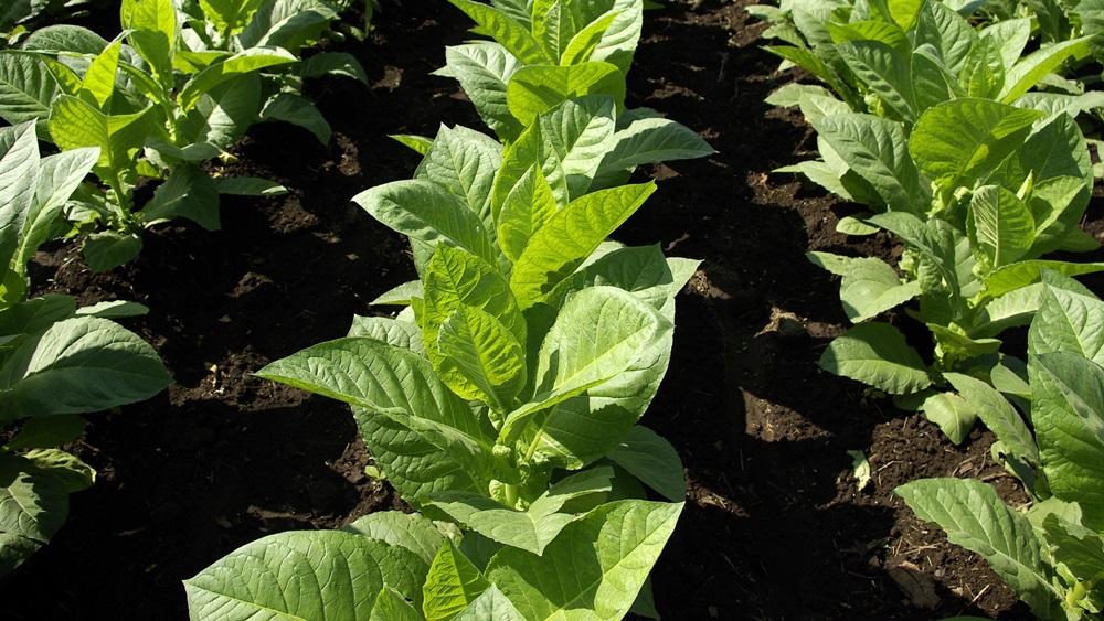 Jak pěstovat tabák