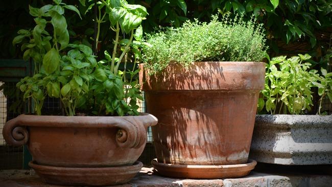 Jak pěstovat tymián