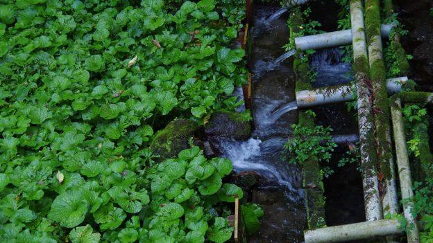 Jak pěstovat wasabi
