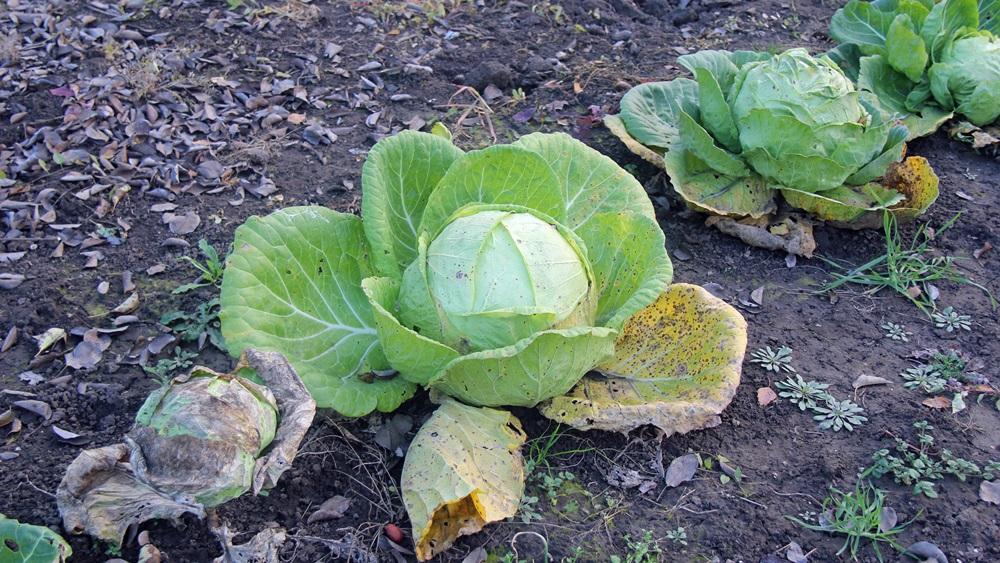 Jak pěstovat zelí