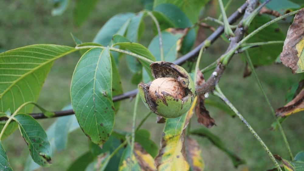 Jak prořezat ořech