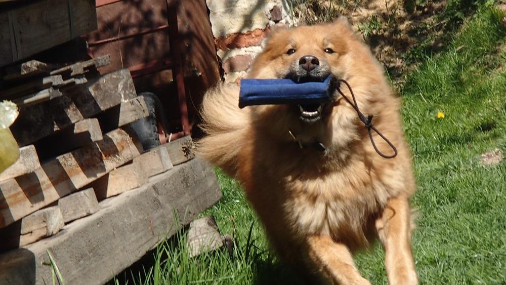 Jak psa naučit aport