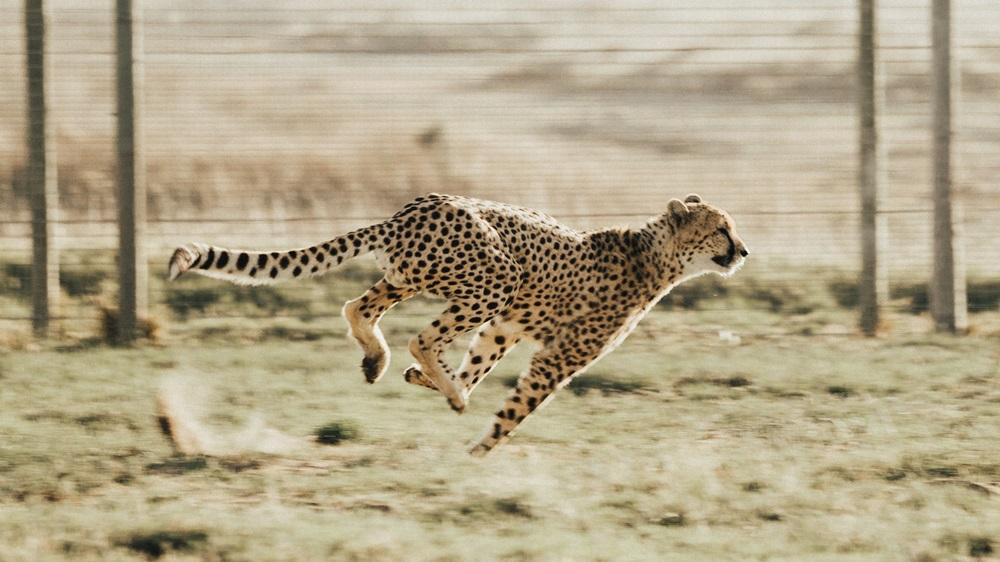 Jak rychle běží gepard