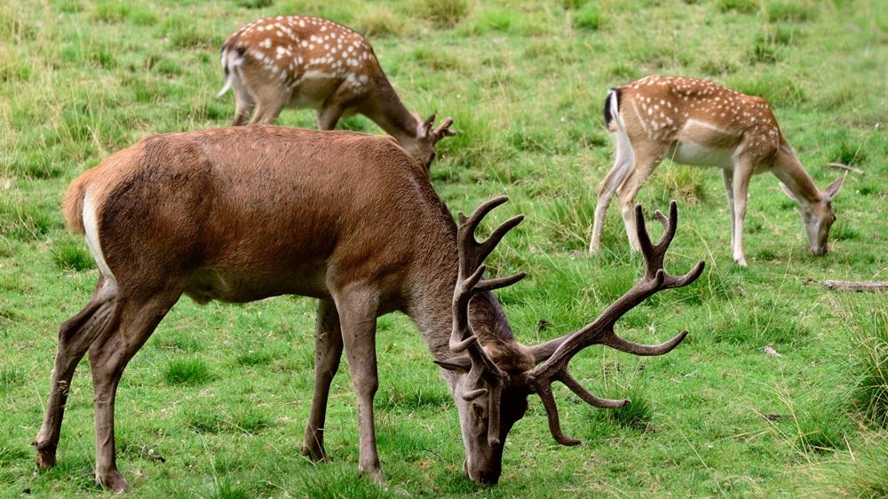 Jak se počítá paroží u jelena