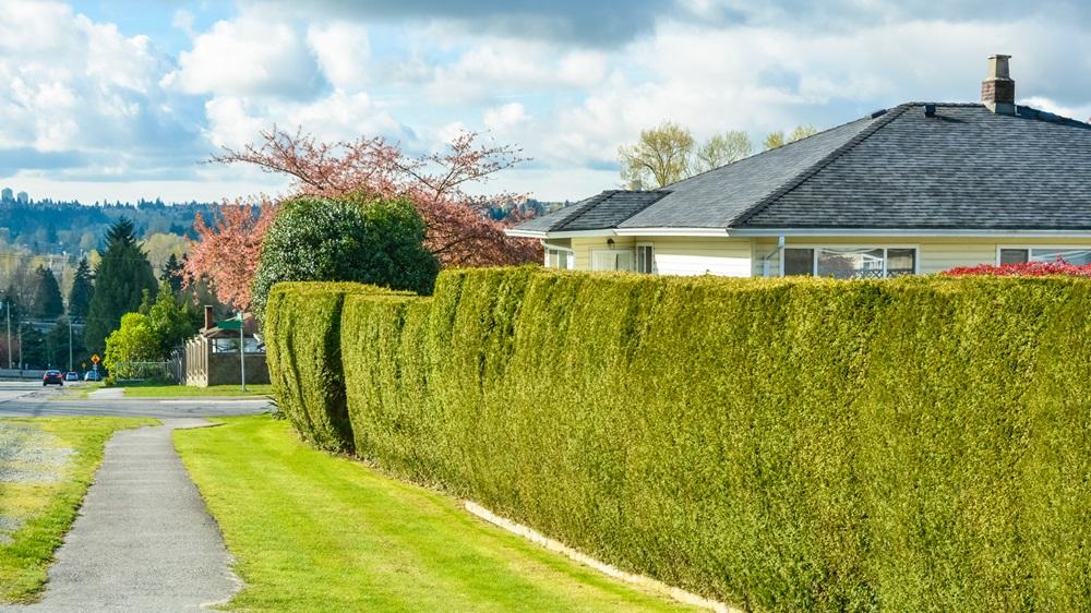 Jak vysadit živý plot