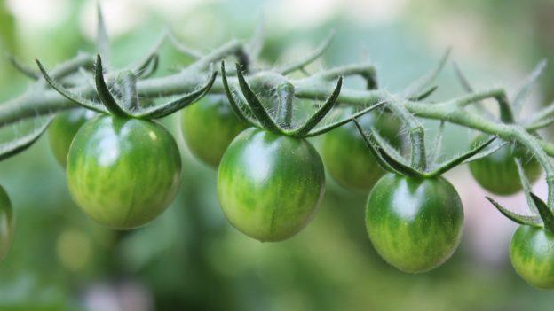 Jak využít zelená rajčata