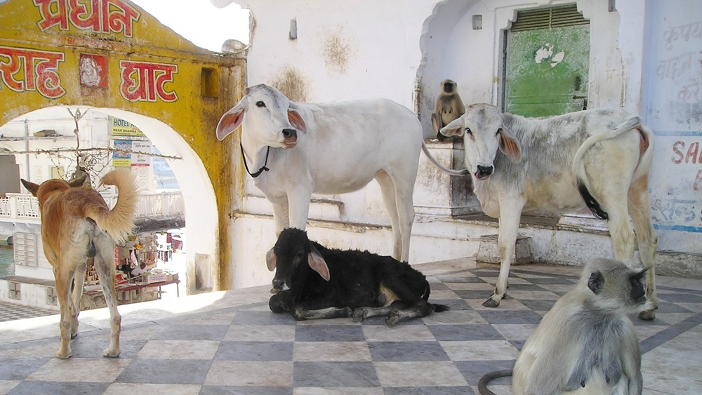 Proč je kráva posvátná