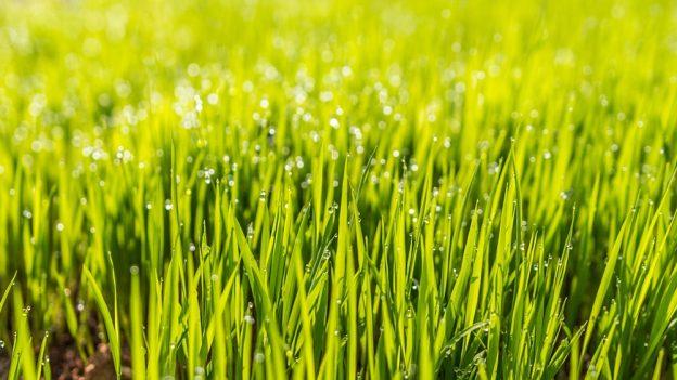 Proč je tráva zelená